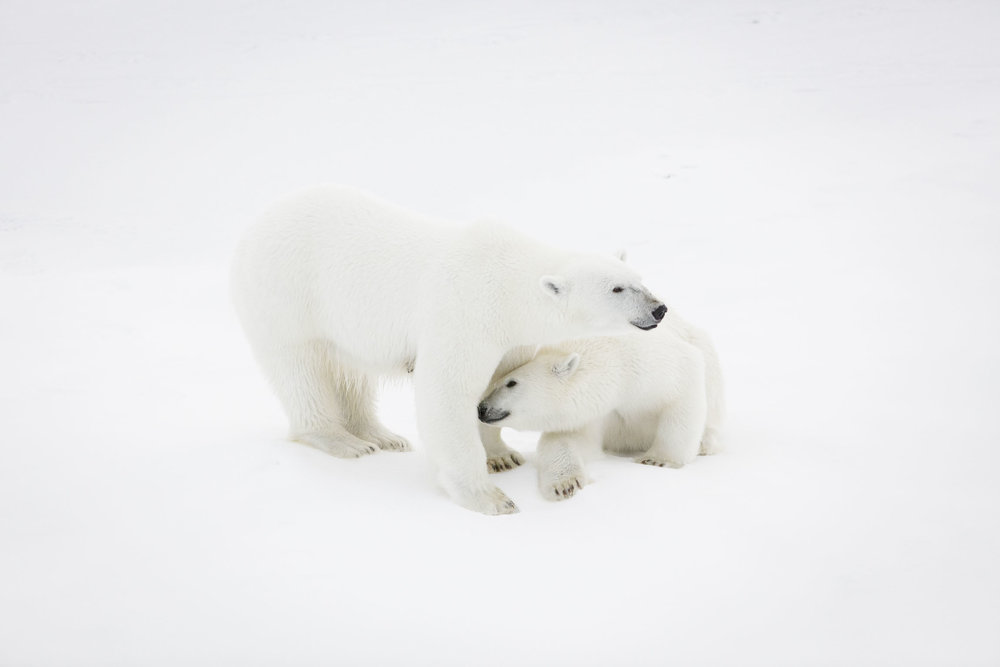 A mother polar bear and her cub on sea ice