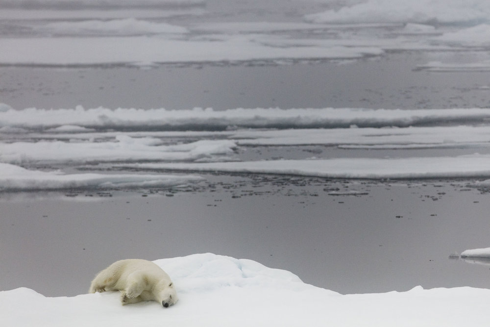 A polar bear sleeps on the edge of an ice floe