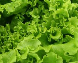 VeggiDome Lettuce.jpg