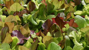 VeggiDome Greens