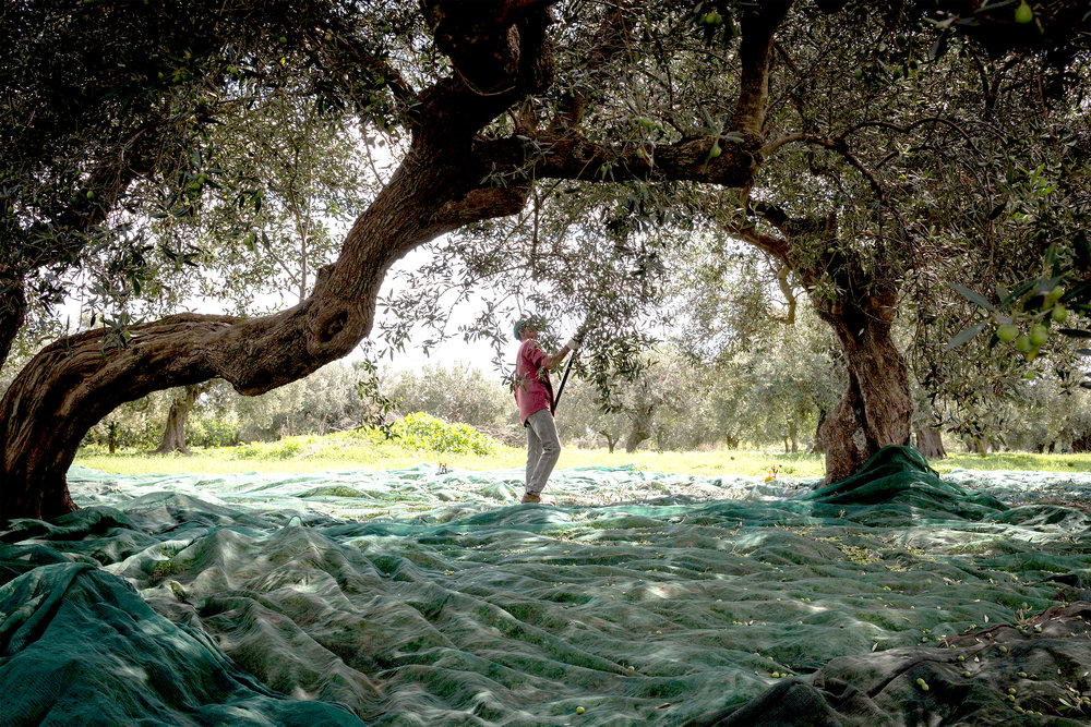 Rakes are used to dislodge olives from the tree, which are then gathered up from a tarp on the ground to make Kirkland Signature Extra Virgin Olive Oil.