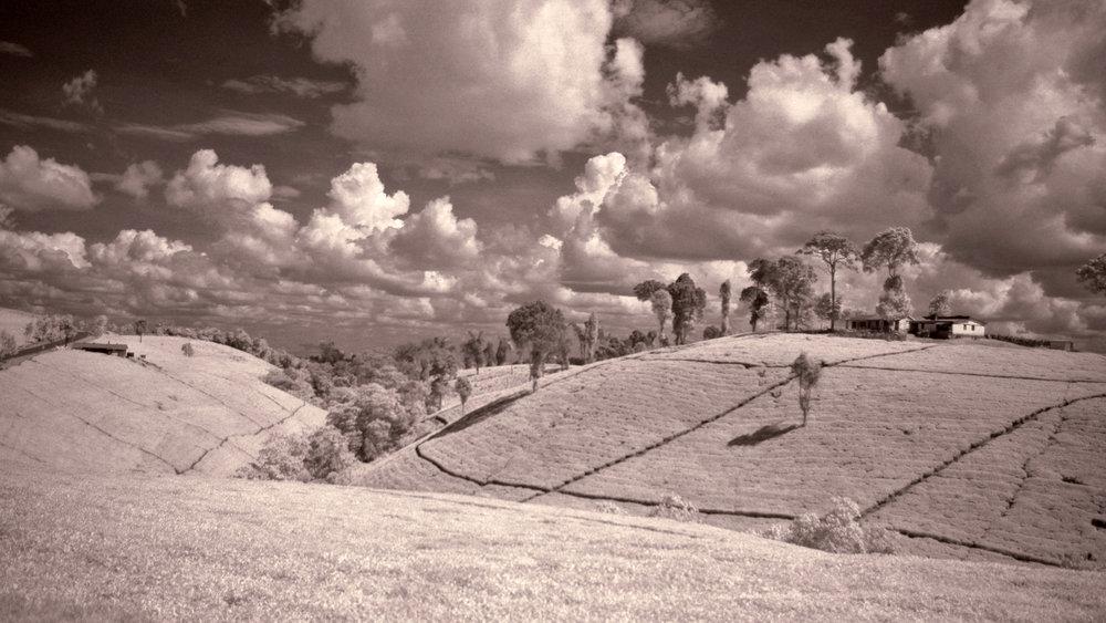 Kenyan Tea Fields