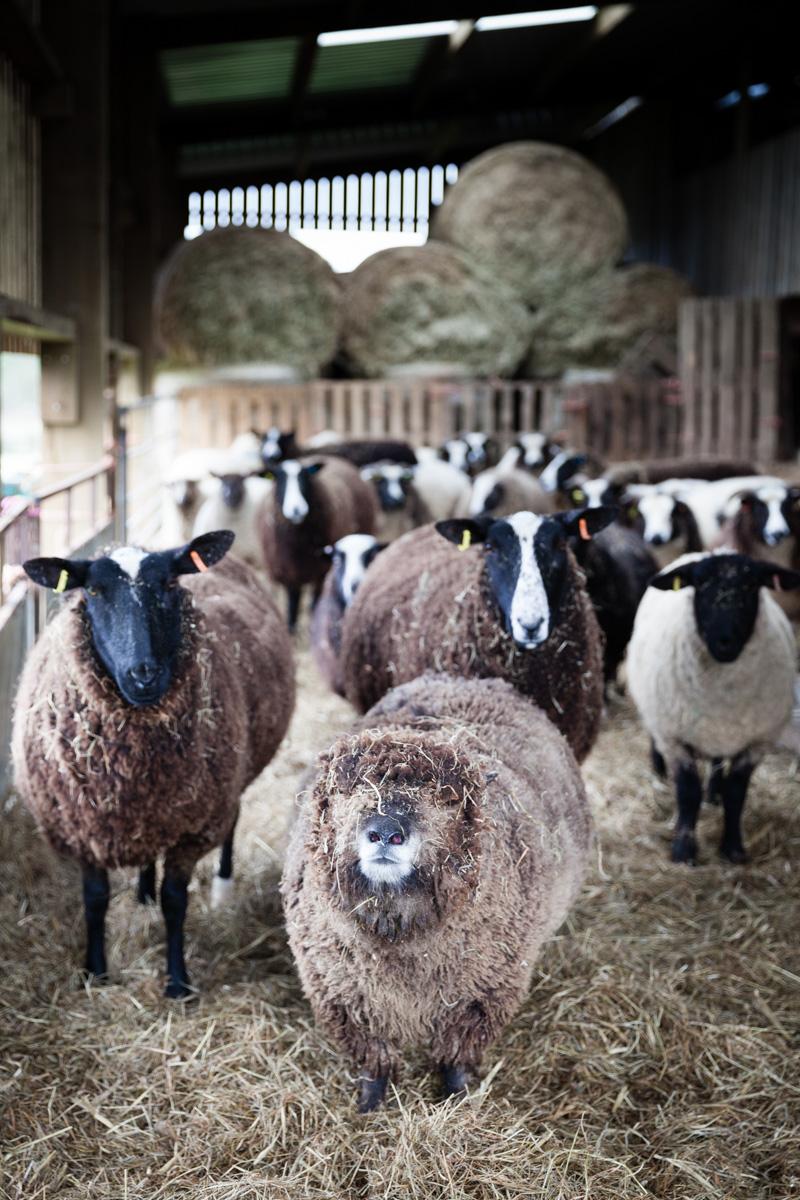 sheep2-1.jpg