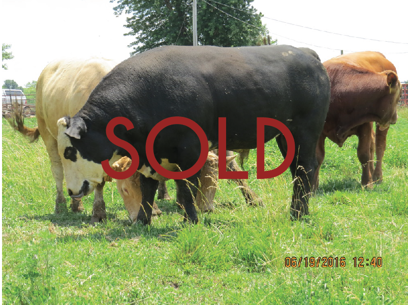FBF Benson --36.695% Bison (Pure Bred)-- DOB: 10/2614 -- $1800.00