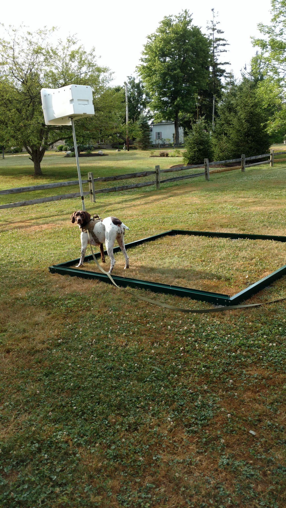 Cabela checking out the base. Do you see how dry and brown the grass is? This is nothing compared to part of the yard. Praying for rain. This weekend, the temps are suppose to soar to 97 degrees.