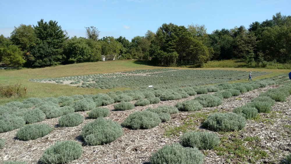 A little over 4,000 lavender plants. Amazing!