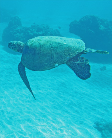 A turtle swimming in Maui