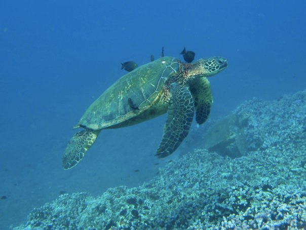 where to snorkel with sea turtles in Maui