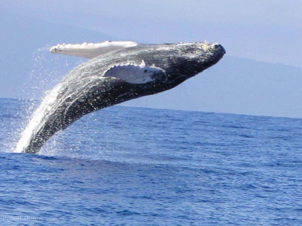 Whale Breach in Maui