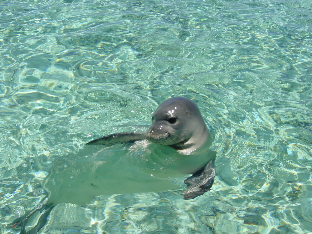 monk seal water