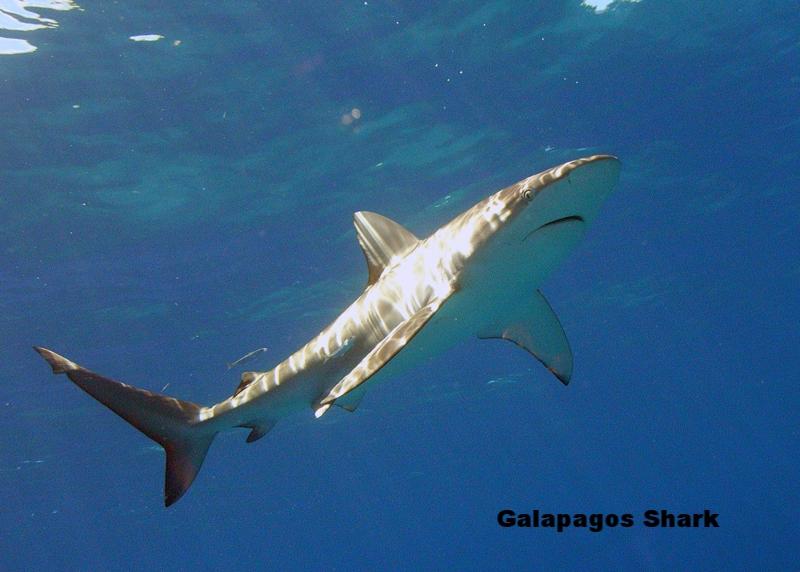 Carcharhinus_galapagensis_hawaii.jpg