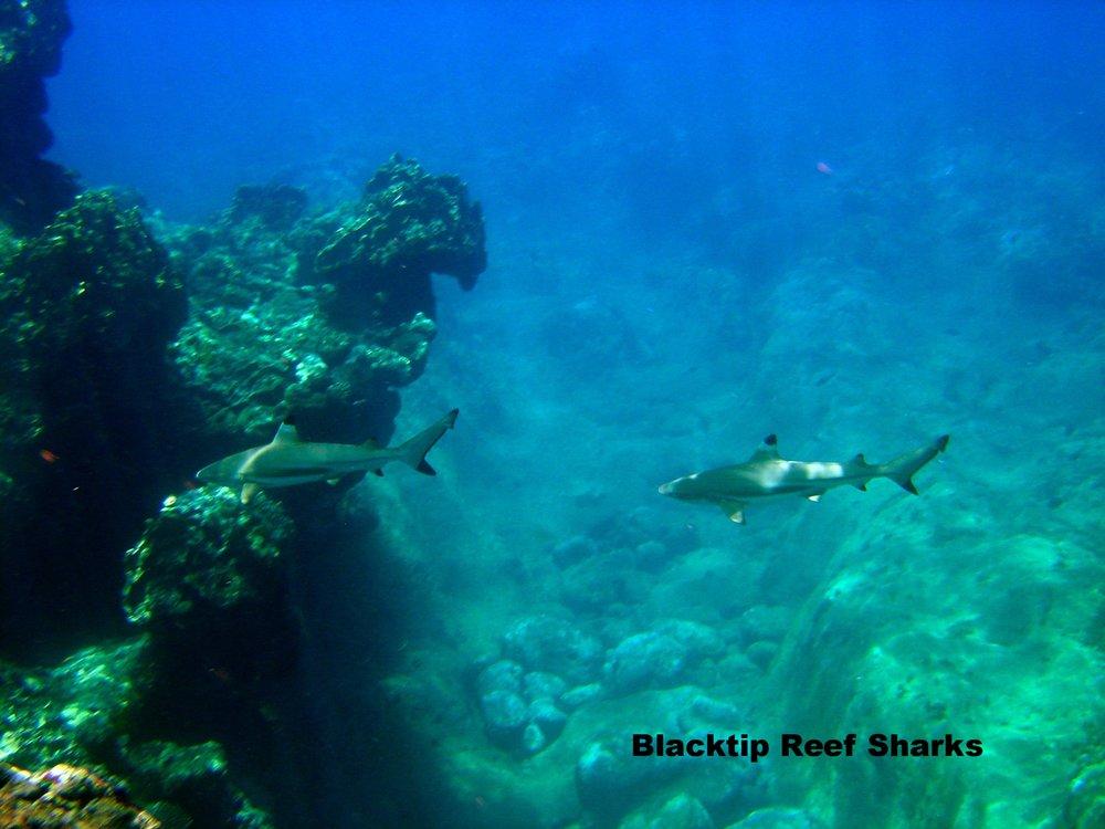 Carcharhinus_melanopterus_guam_2.jpg