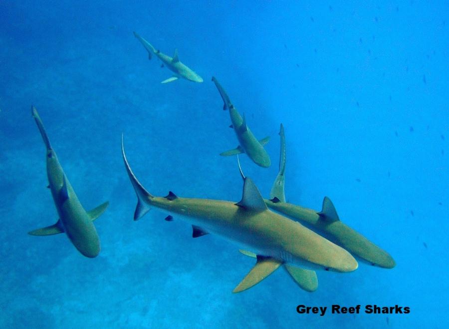 Carcharhinus_amblyrhynchos_kure_atoll.jpg