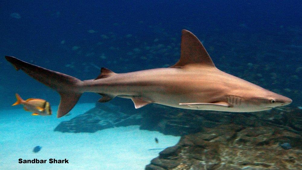 Carcharhinus_plumbeus_georgia.jpg