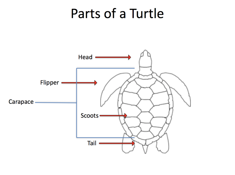 Turtle Anatomy 101