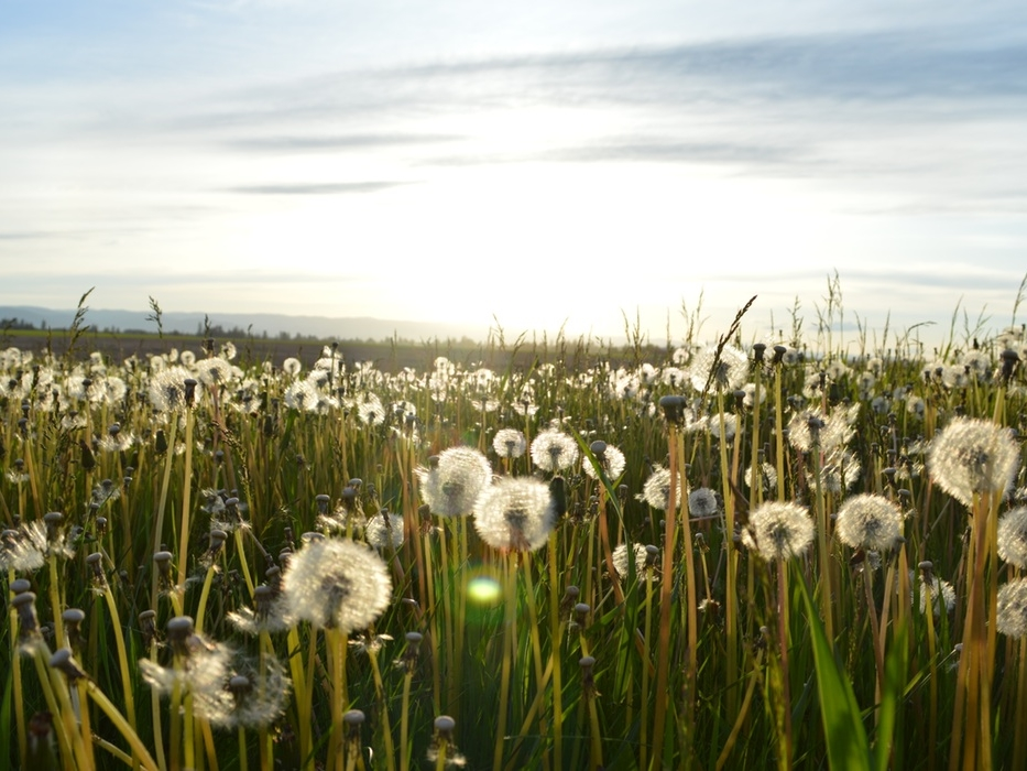 Image: A field of white parachute ball dandelions, the sun setting on the horizon.