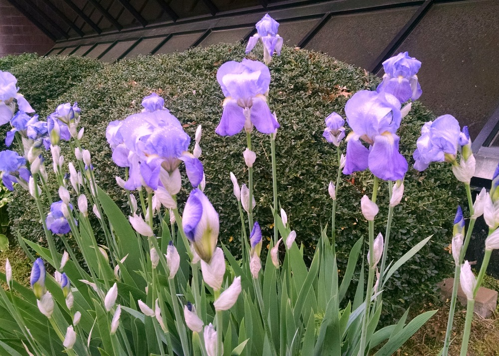These beautiful purple irises are enjoying some much needed rain
