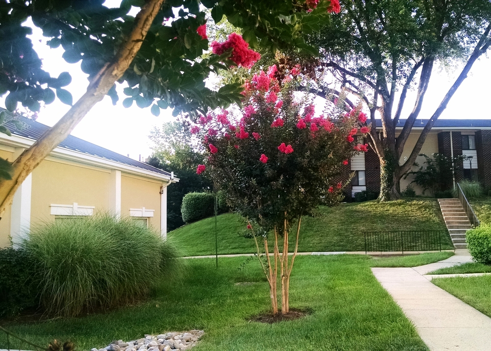Crepe Myrtle in bloom!