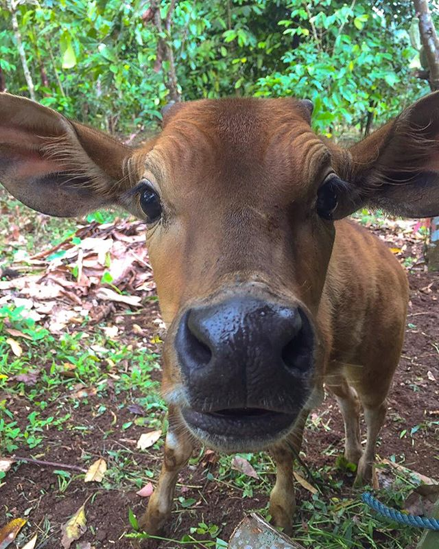 Morning!! Meet our latest family member, Sam the cow 🐮🐂 he got most important job at the farm, fertilizing the earth around our organic farm. He love attention and thinks his a dog 🐶 #SAMpi #SamTheCow #SwichFarm #Organic #Swichbali www.swichbali.com
