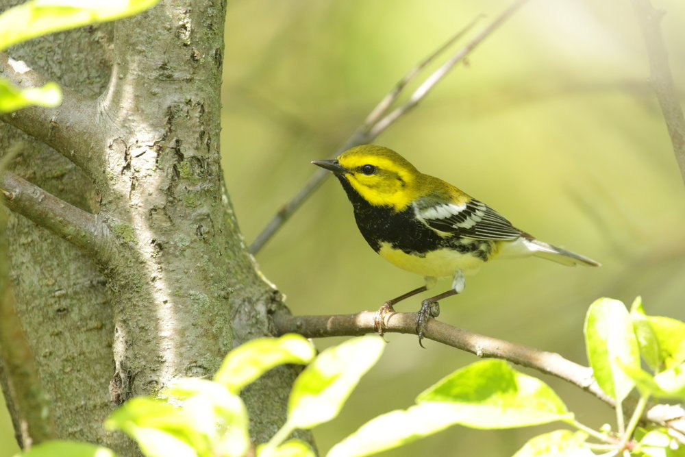Black-throated Green-warbler