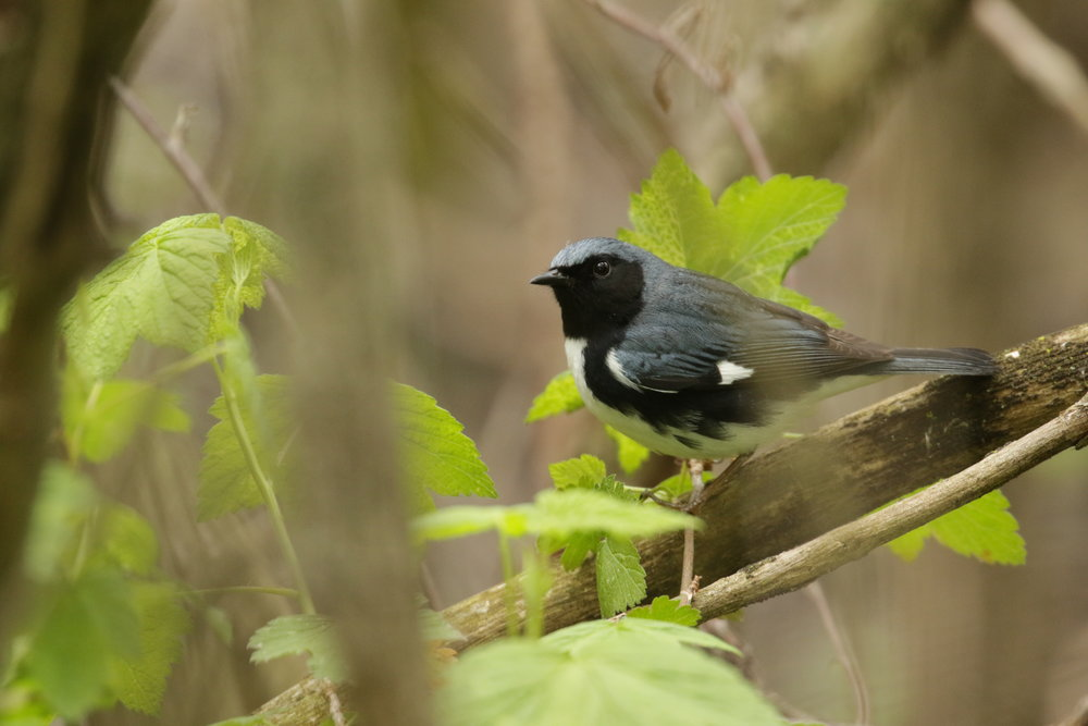 Black-throated Blue-warbler
