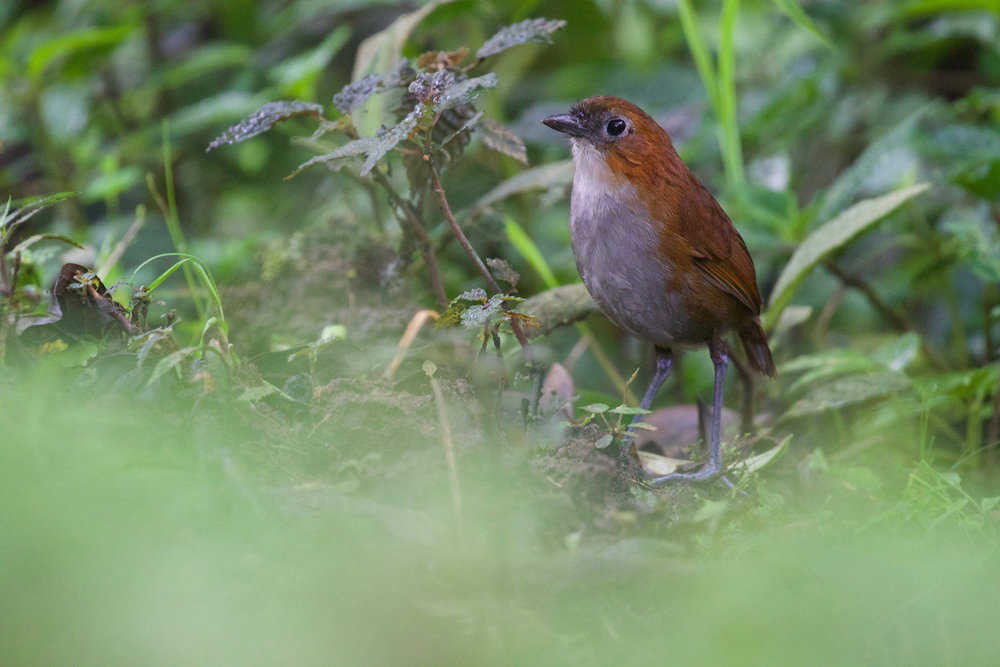 White-bellied Antpitta