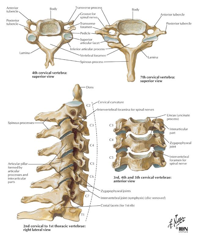 Figure 1. Anatomical overview of the cervical spine