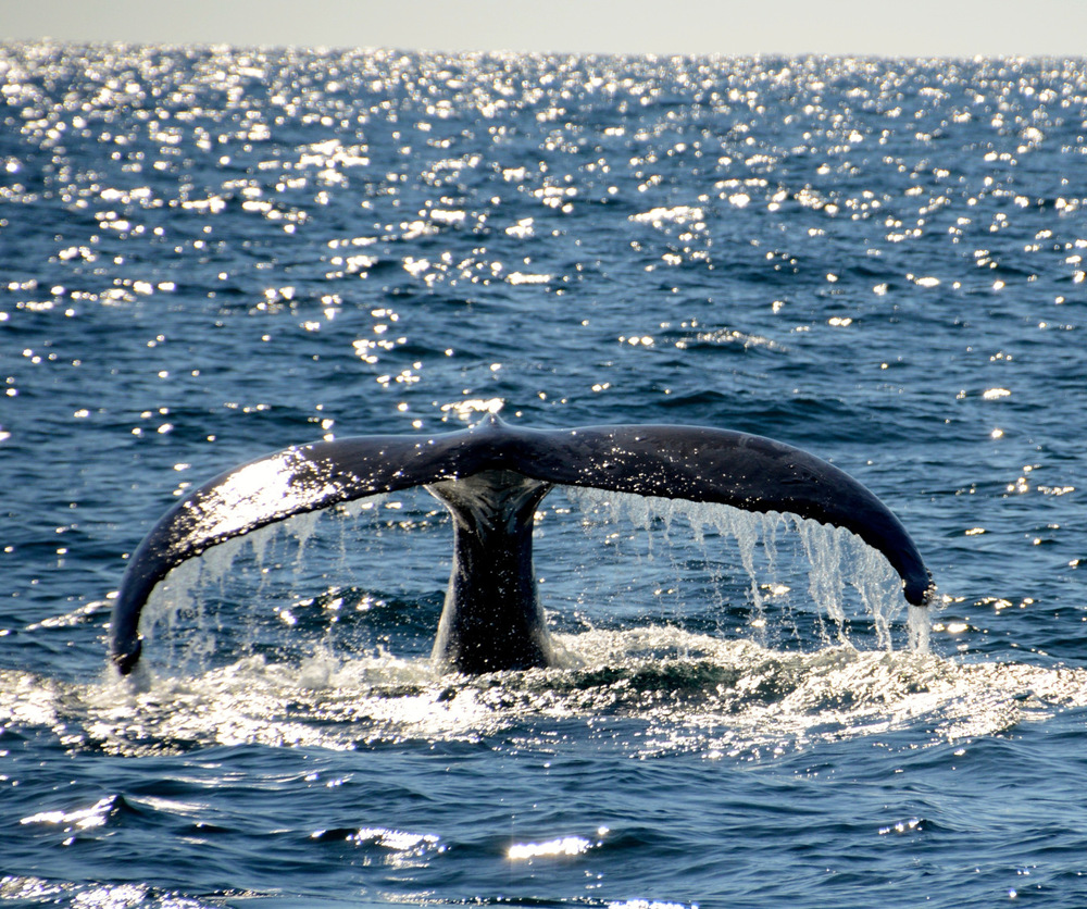 Whale Watching Gold Coast Queensland 1
