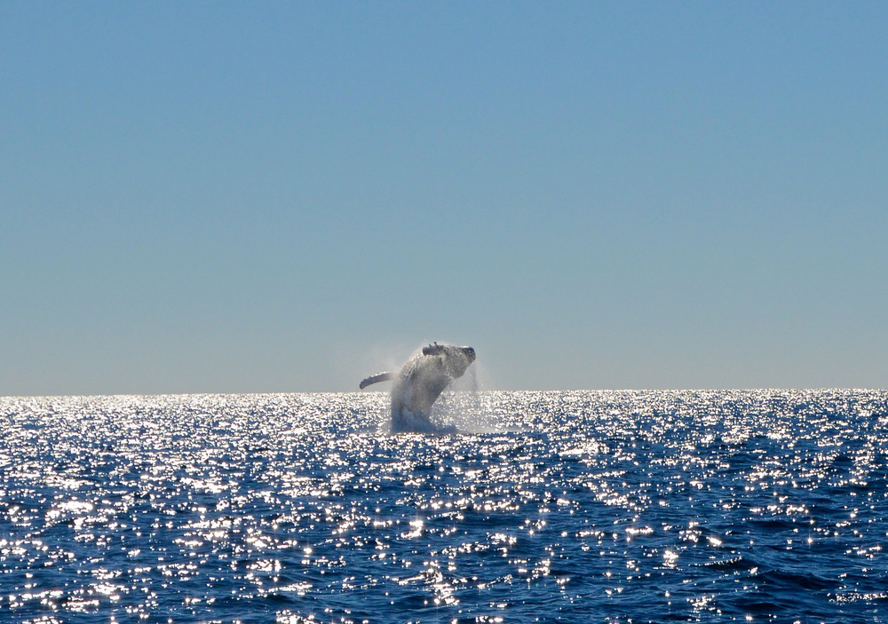 Whale Watching Gold Coast Queensland 3