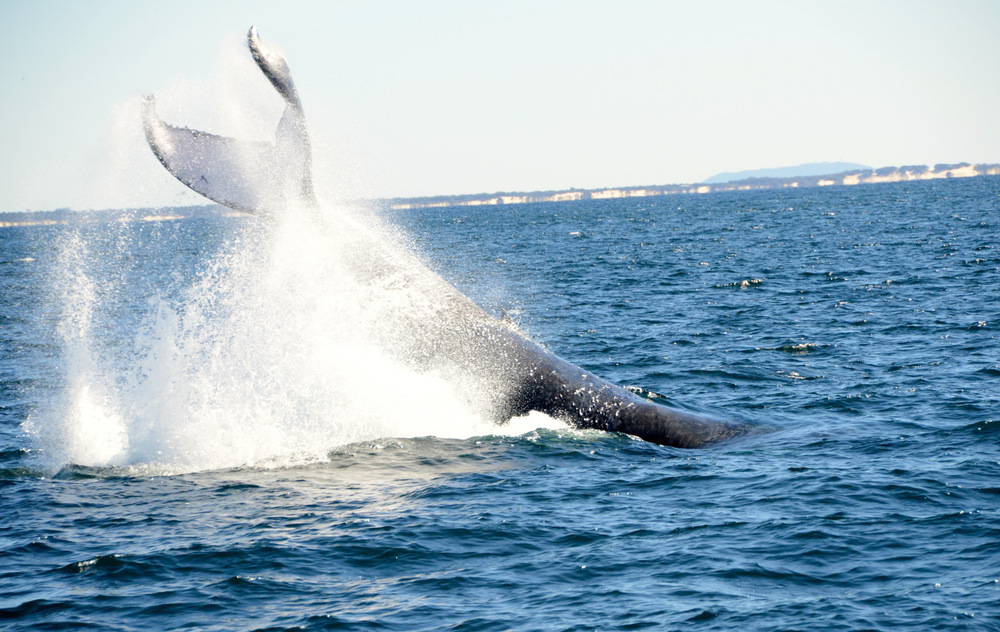 Whale Watching Gold Coast Queensland 4