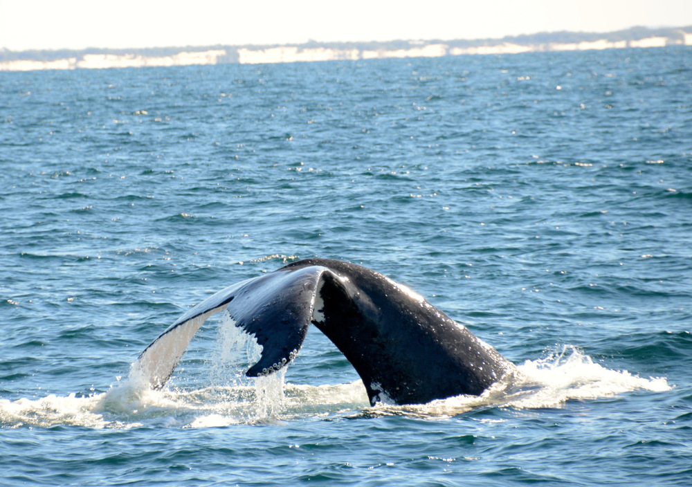 Whale Watching Gold Coast Queensland 11