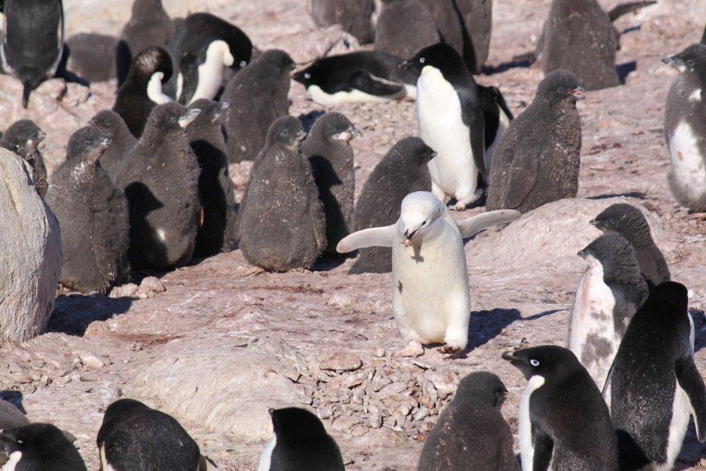 Leucistic Adelie Penguin, Gardner Island.jpg