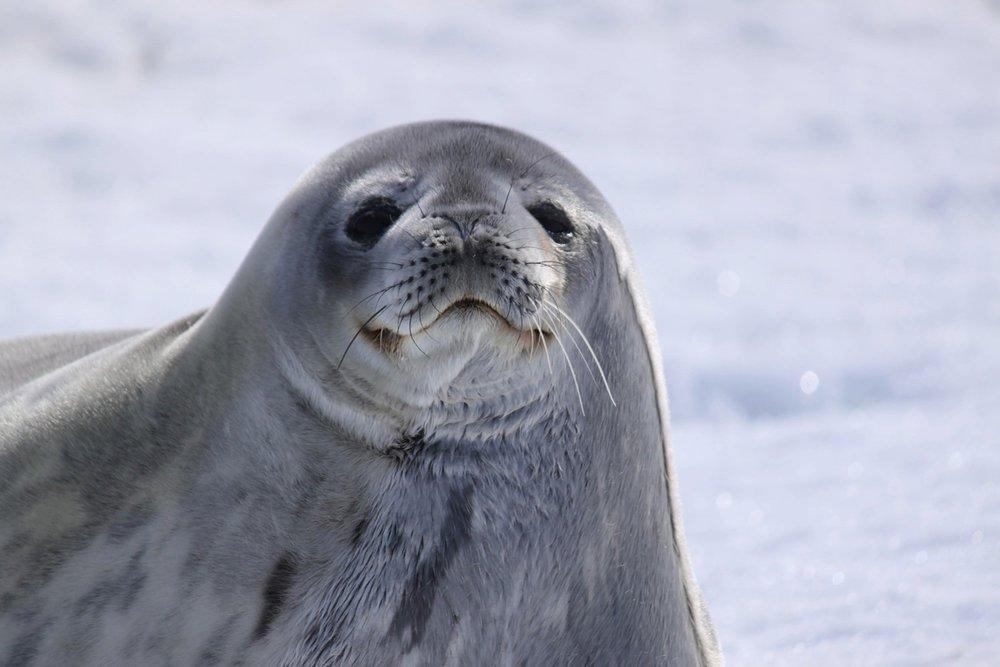 Weddell Seal, Mawson Station.jpg