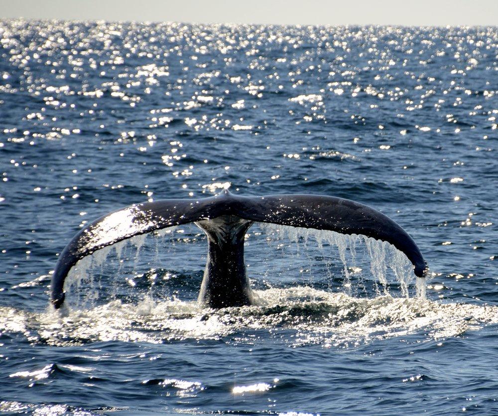 Whales crossing the Tasman Sea