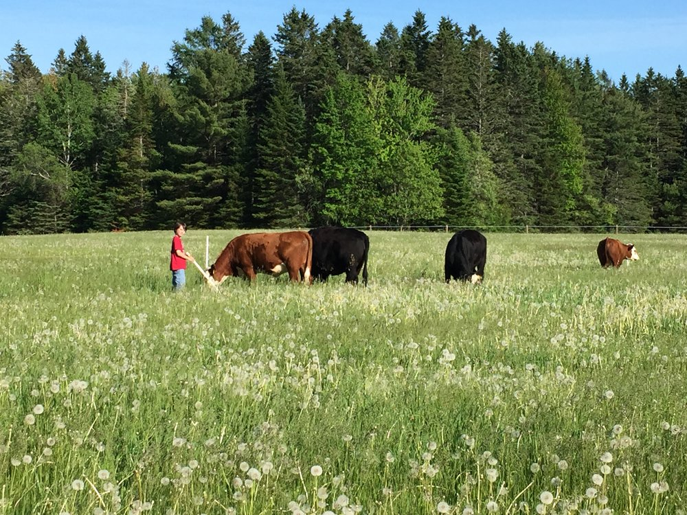 GRAZING IN MAINE - we raise our beef cattle on our 300 acres of beautiful pasture