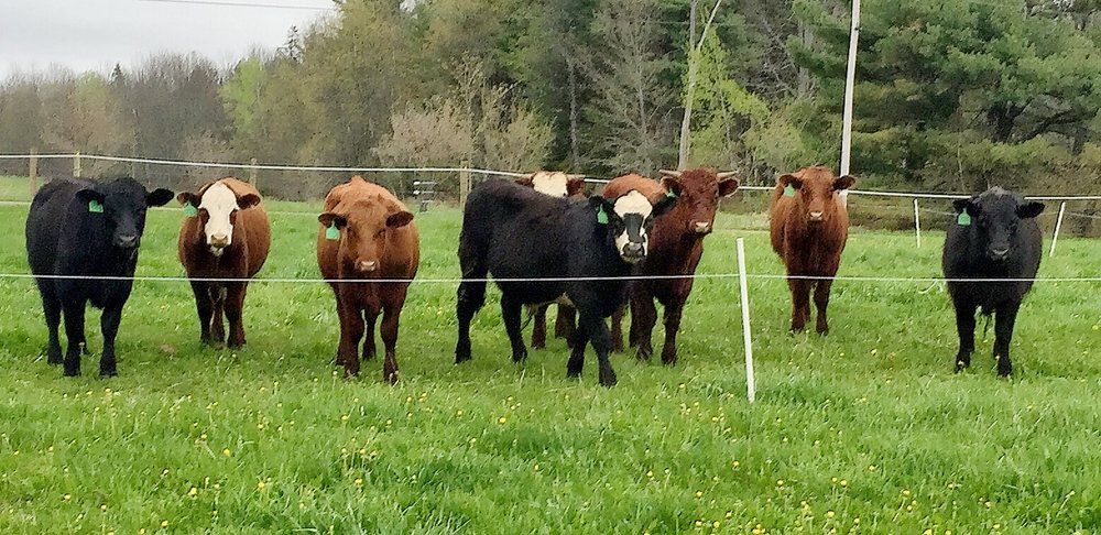 Our beautiful cows on our Maine grass pasture