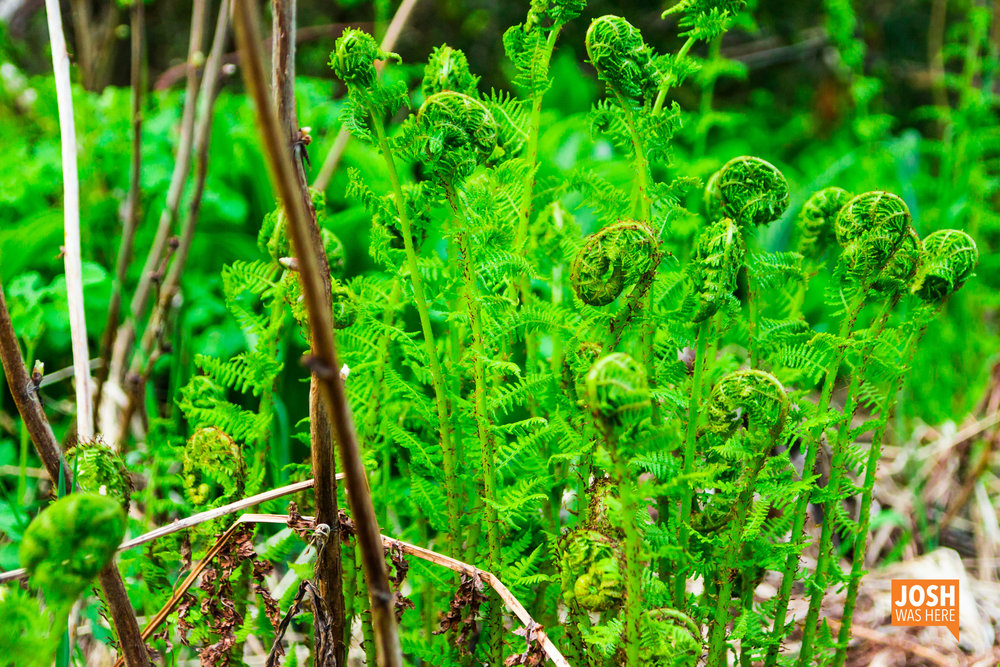 Sprouting fern