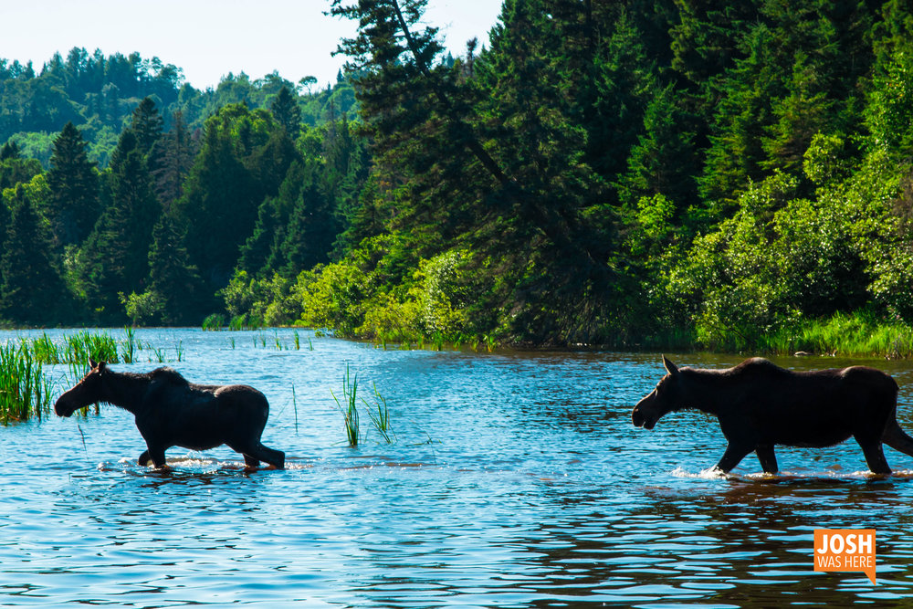 Moose on Washington Creek