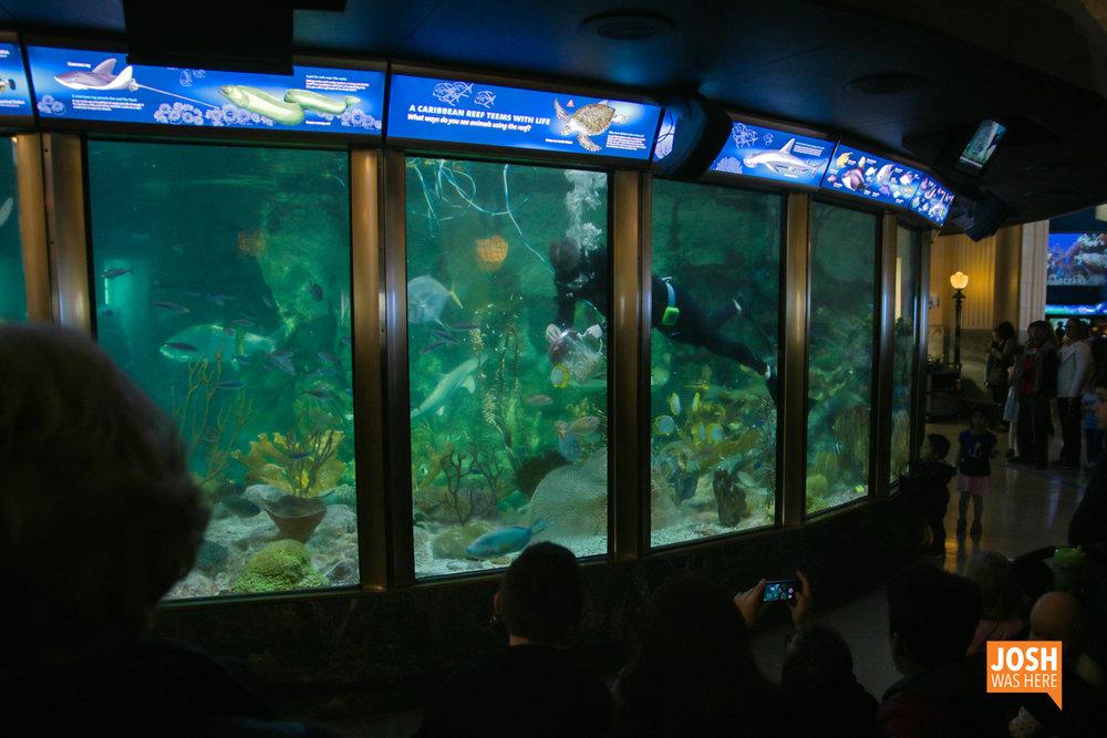 Feeding time at Shedd Aquarium