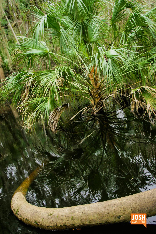 Swimming palm