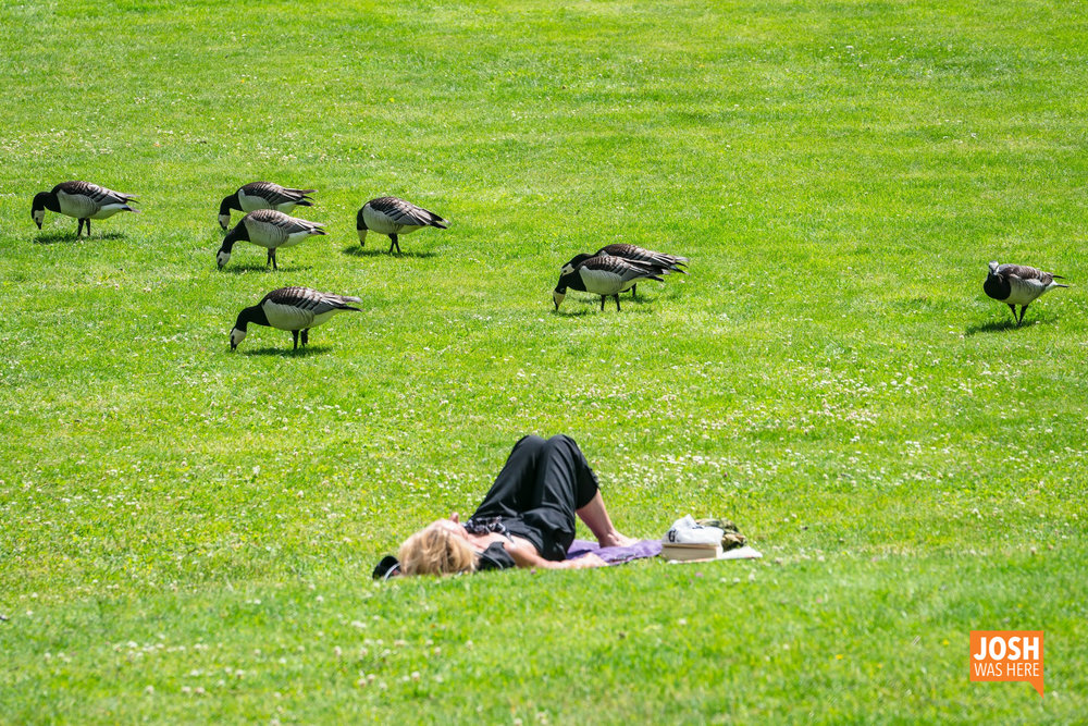 Relaxing with Geese