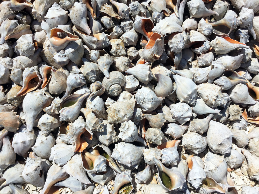 Shell Pile, NJ - Mountains of whelk have been dropped here ages and ages, hard to describe the thick stench in the air.
