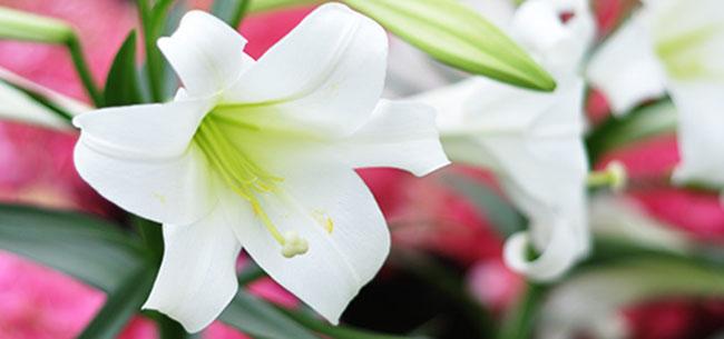 fundrasier-easter-lillies.jpg