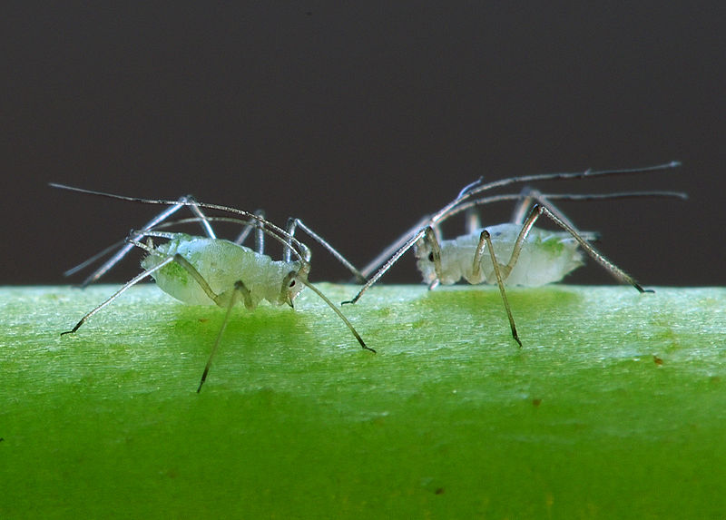 Aphids3 (GrowKind).jpg