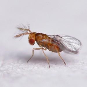 Trichogramma brassicae