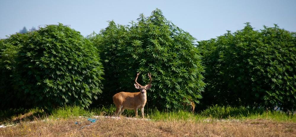 Deer-marijuana.jpg