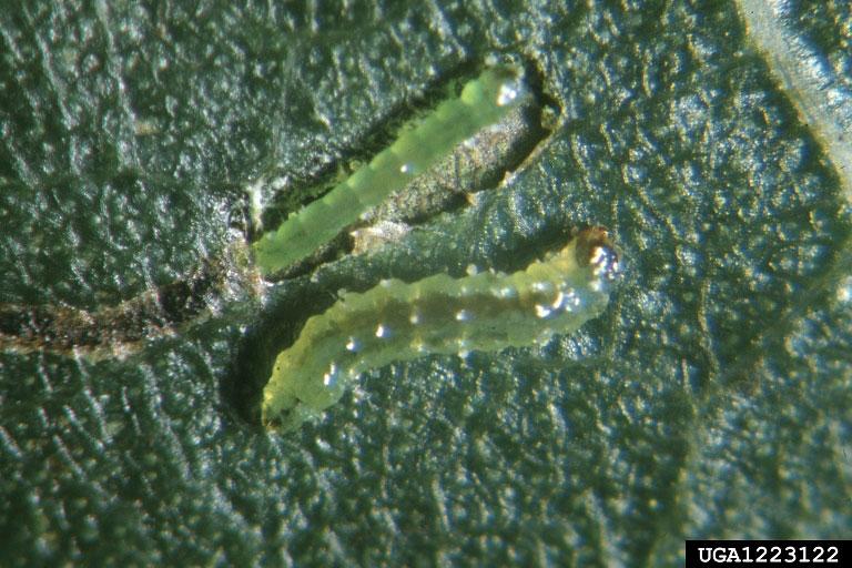 Leafminer Larvae