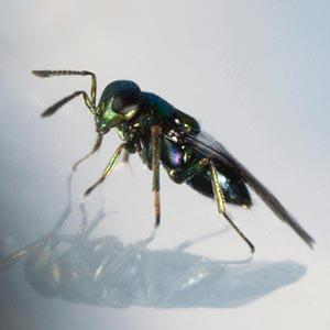 Parasitic Wasp (Diglyphus isaea)