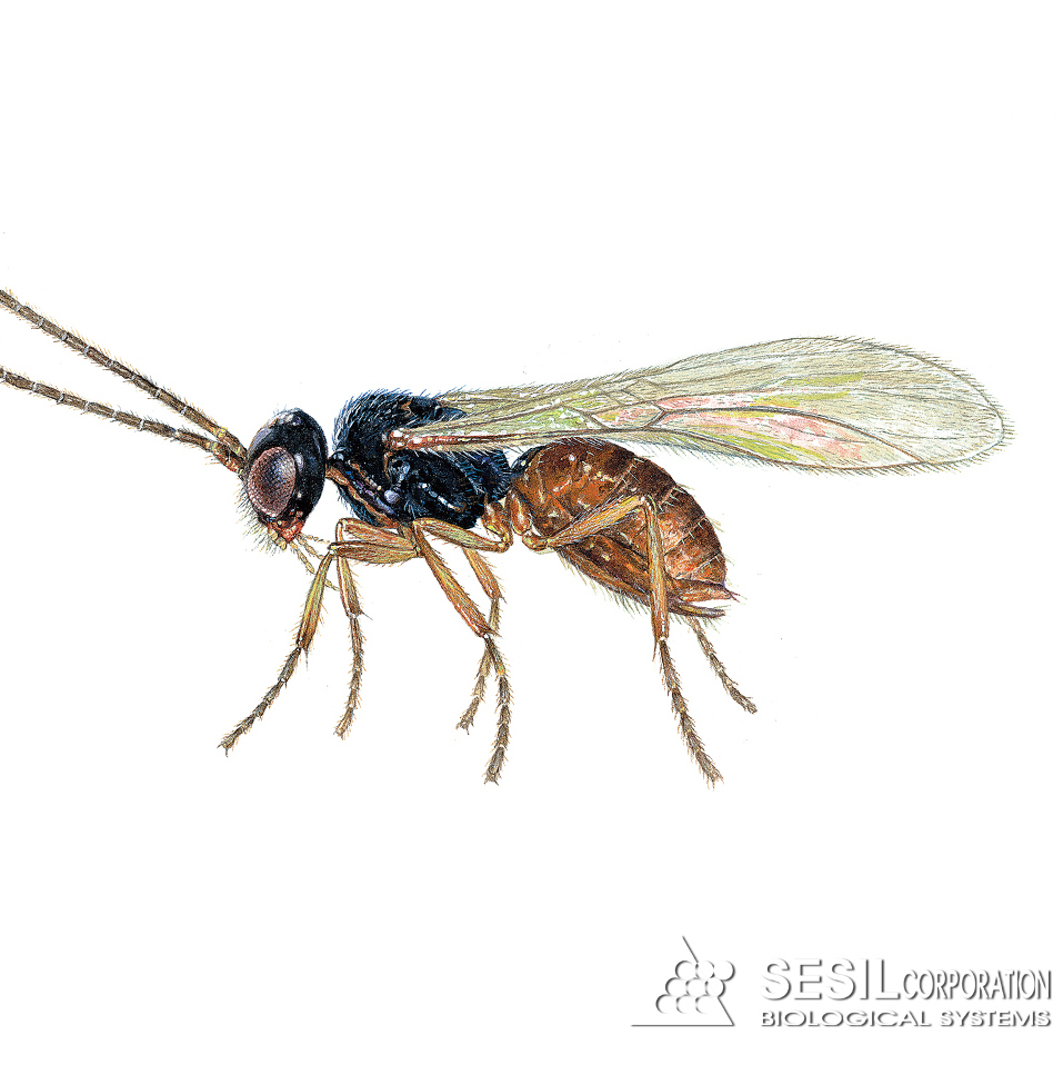 Parasitic Wasp (Dacnusa sibirica)