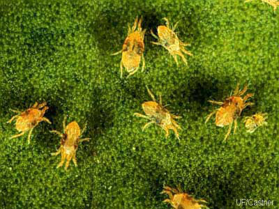 Two Spotted Spider Mites